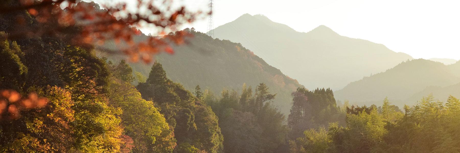 飯南の杉「香肌杉」